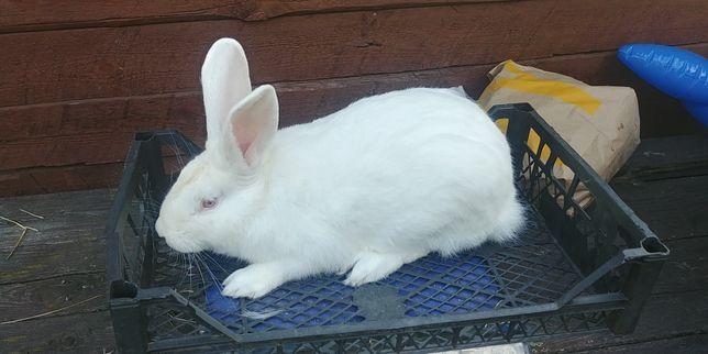 Królik króliki tb termondzki biały termondzkie