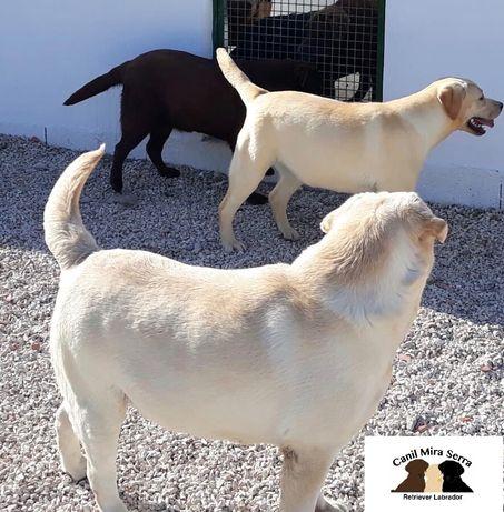 Labradores Procuram Namoradas