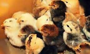 цыплята суточные мясояичка