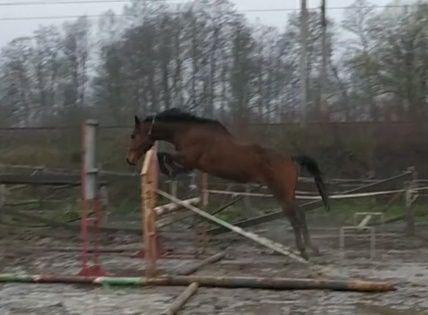 Koń, wałach - The Bart Furioso ||-98