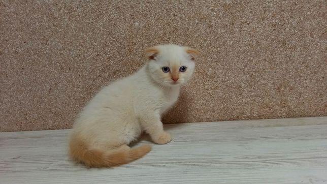 Шотландське кошенятко фолд
