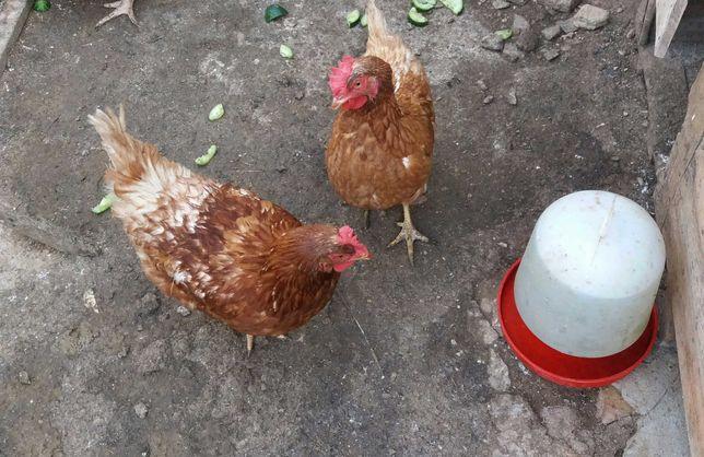Duas galinhas poedeiras e uma pedrez(valor das três)