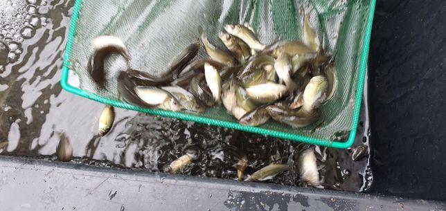 karp, lipcówka, karpie, ryby, narybek