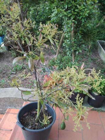 Abacateiro enxertado já a dar flor e fruto