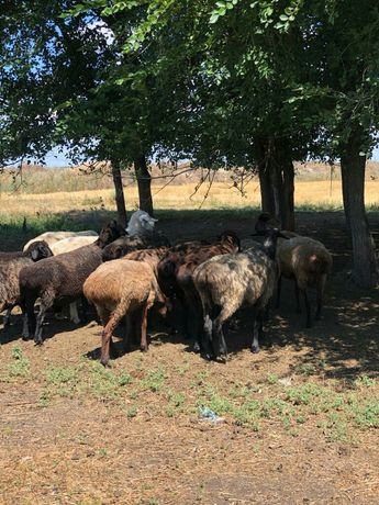 Продам курдючные овцы, матки и бараны