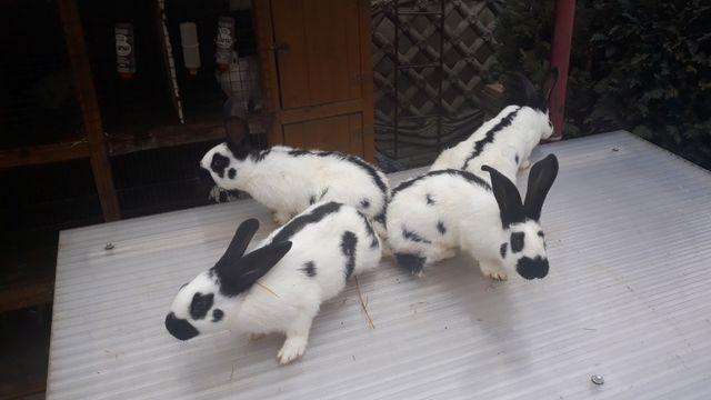 króliki królik srokacz niemiecki osc osn czysta rasa SAMCE