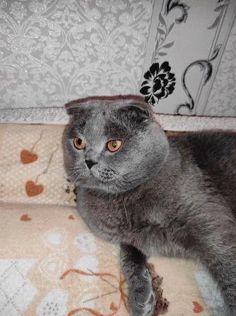Вісловухий кіт шукає кішечку