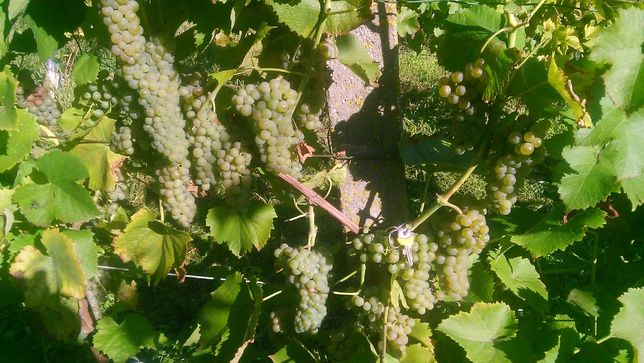owoce-winorośli ,winogrona,winogron