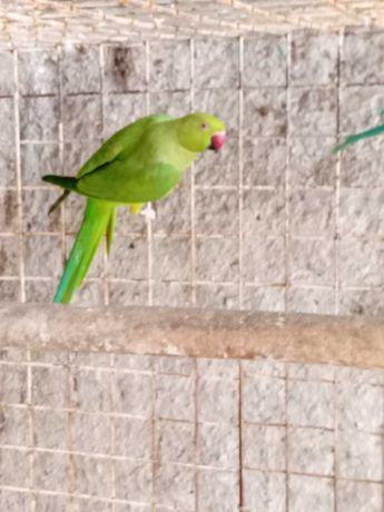 Casal de ring necks verde