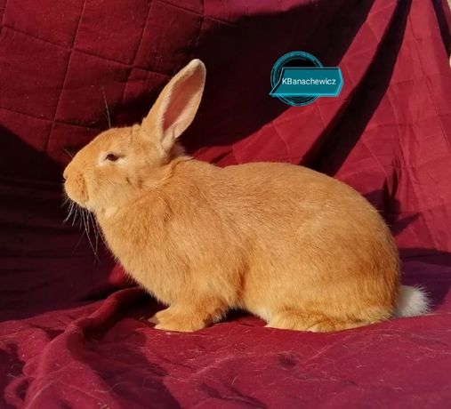 Samce Burgundzkie Króliki BU linia użytkowa- króliki mięsne