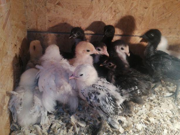 Kurczaki       .