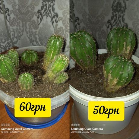 Набор кактусов..