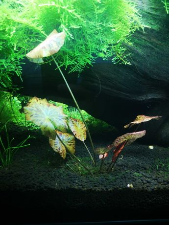 Plantas para aquário tiger lotus