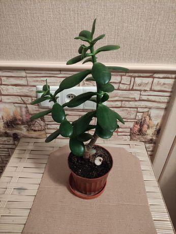 Толстянка, денежное дерево. Алоэ. Комнатные растения.