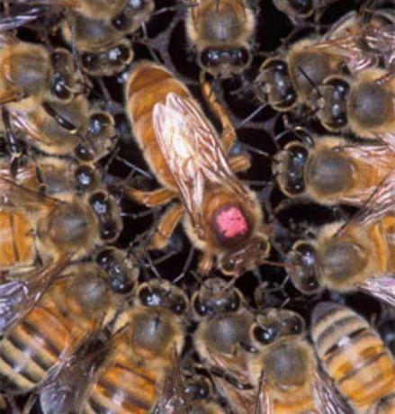 Продам бджоломаток 2021. Італійка.Карніка.Карпатка.  Ціна договірна.