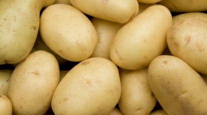 Сорт картофель Удача, картофель который не едят жуки