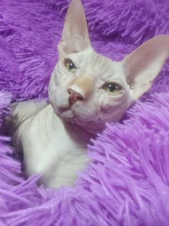 Кот сфинкс ищет невесту