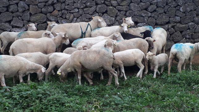 Ovelhas prenhas