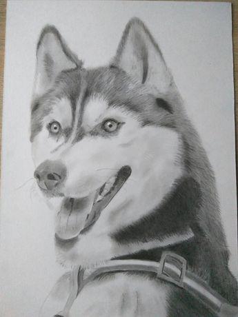 Pies husky rysunek obraz psa ołówek portret pupila inne na zamówienie
