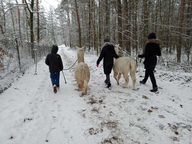 Odwiedziny na Ranczo/spacery z alpakami