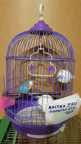 попугайчик голубенький