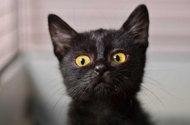 Изумительный черный Котенок Измаил (2,5 месяца). Котик, кот.