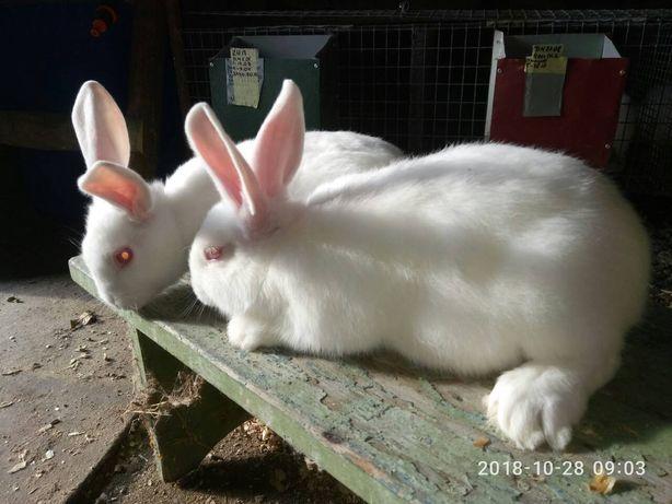 Кролики білий панон