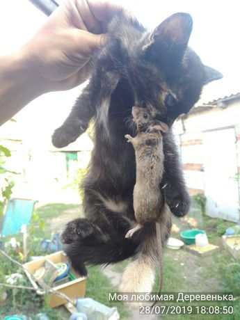 Котята, кошка - гроза крыс, мышей и кротов.
