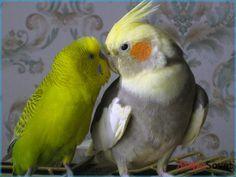 Продам попугаев от 150грн .Волнистые,Корелла, Неразлучники, Какарик