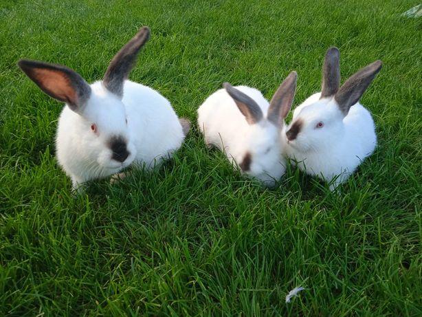 Sprzedam króliki Kalifornijskie Czarne
