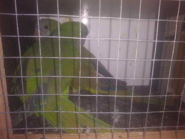 Papugi alexandrety