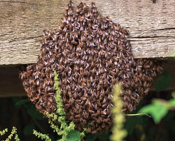 Recolho/capturo enxames de abelhas gratuitamente