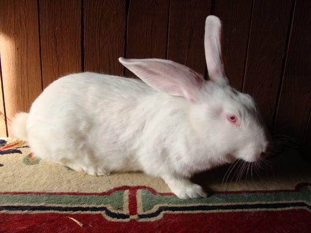 króliki termondzkie