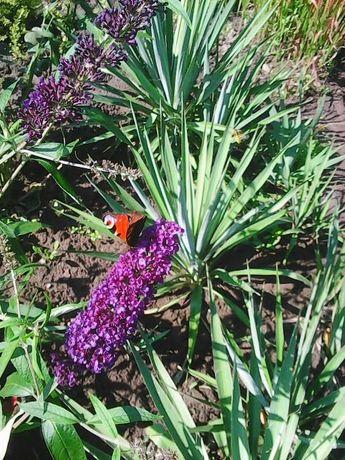 Декоративні рослини: барбарис, вейгела, жимолость...