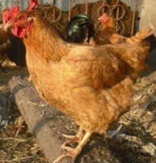 Инкубационное яйцо фоксичик Венгрия