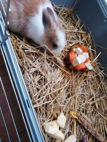 Sprzedam królika miniaturkę (samiec) razem z klatką