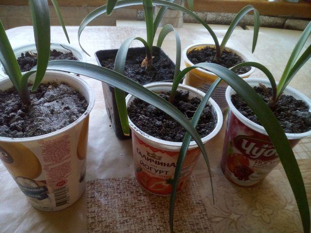 Обменяю или продам луковицы гипеаструма