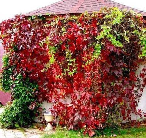 Девичий пятилисточковый дикий виноград Вертикальное озеленение Хмель