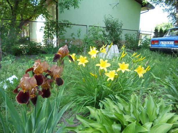 Цветы для дачи - лилейник жёлтый