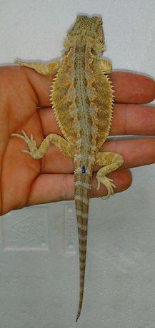 Agama brodata z terrarium 350zł!