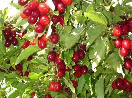 Реализуем саженцы ежевики, войлочной вишни, кизил,липы,акации форзиции