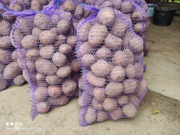 Ziemniaki wineta belaroza Ignacy marabel denar. Ziemniaki paszowe