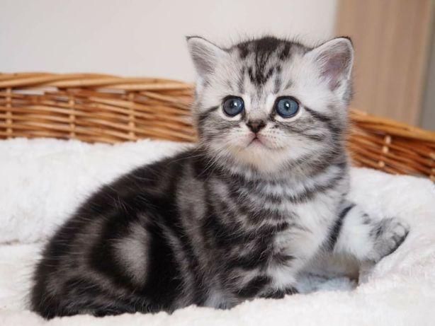 Британские котята питомник.