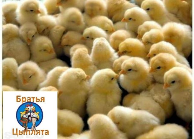 Цыплята бройлеры суточные КОББ-500, Мастер, Редбро, Испанка