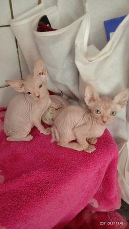 Котята сфинксы мальчики