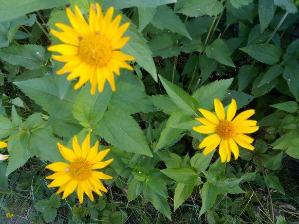 Семена цветов желтая ромашка