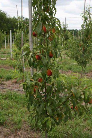 Cаженцы карликовых персиков и абрикосов. Морозоустойчивый подвой