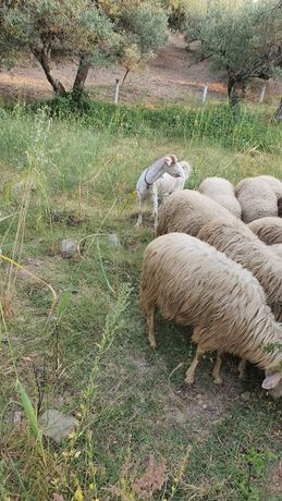 Vendo cabra com um ano e meio