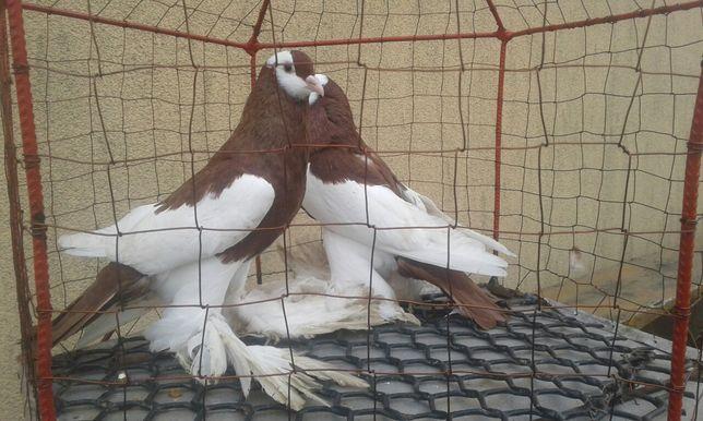 Garłacz czerwony garłacze czeskie siodłate ptaki gołębie ozdobne nr 3