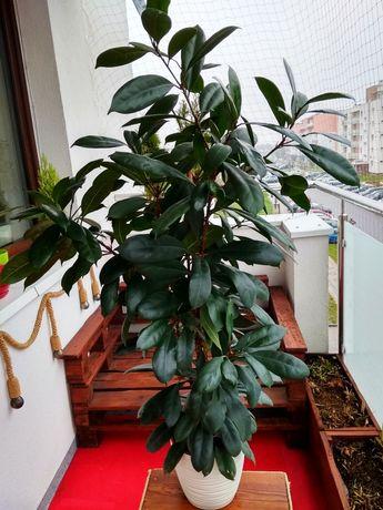 Ficus Cyathispula Duży 130cm